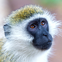Black Faced Vervet Monkey