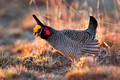 Lesser Prairie Chickens of Milnesand NM