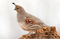Female Gamble's Quail