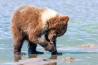 Young Bear Clamming