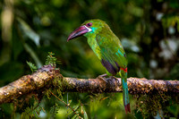 Crimson Rumbed Toucanet
