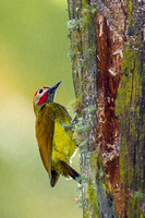 Golden Olive Woodpecker