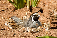 California Quail and Chicks