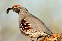 Male Gamble's Quail