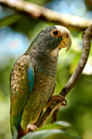 White Crowned Parrot