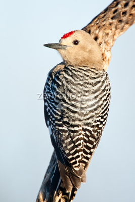 Rinus Baak Photography Birds Of Southern Arizona