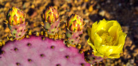 Purple Pricklypear Flower