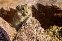 Young American Pika