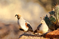 Pair of Gambel's Quail