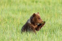 Bear Cub Munching Grass
