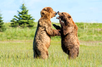 Fighting Brown Bears